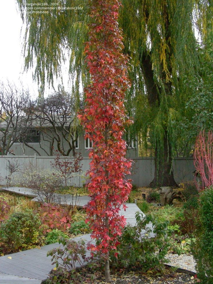 Columnar sweetgum fall color kristen jason trees garden trees garden shrubs columnar trees for Columnar evergreen trees for small gardens