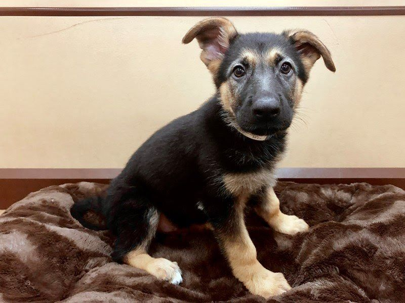 German shepherd dog dog male black tan 2428694 petland las