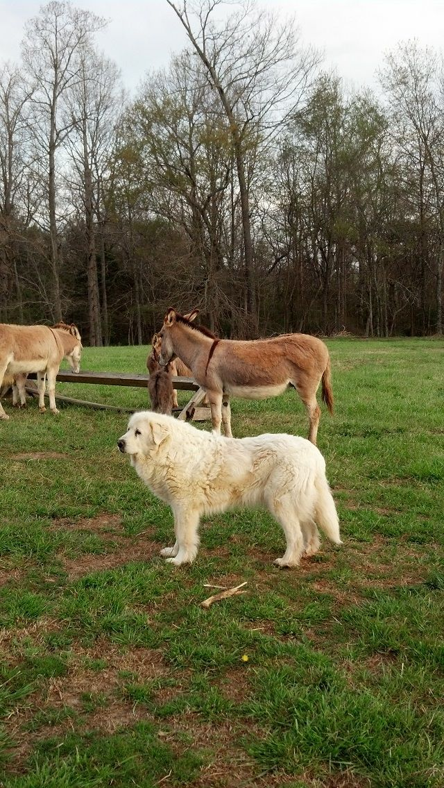 Two Great Guardians Great Pyrenees And Donkeys Http Tipsfordogs