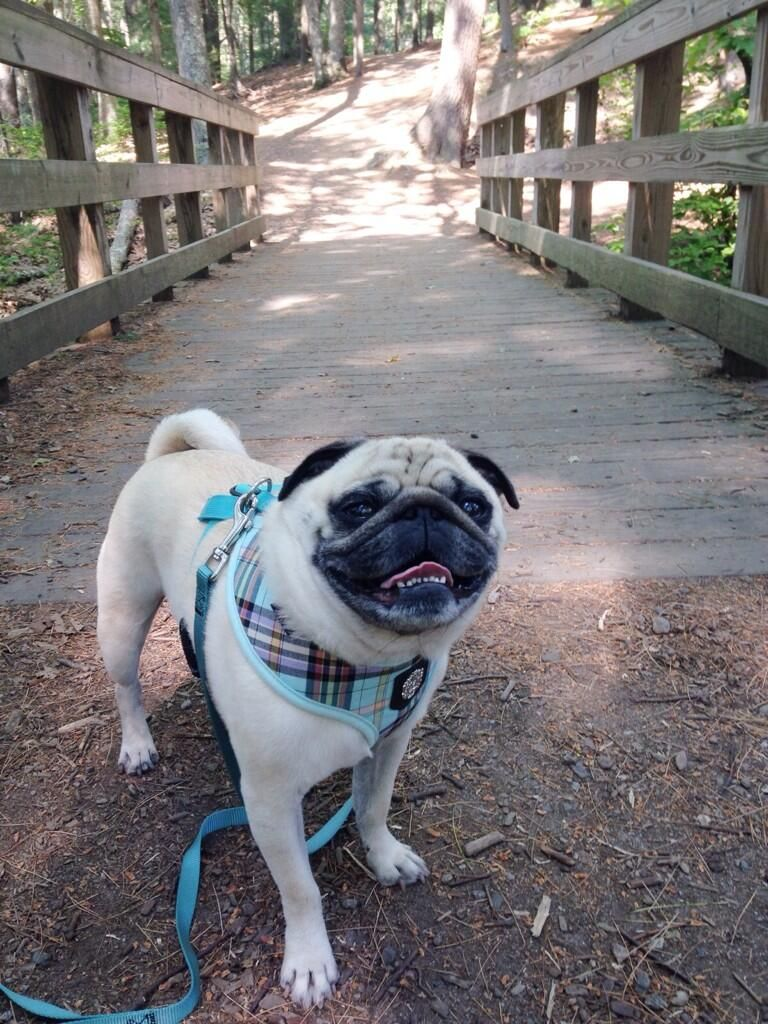 My motto in life is to cross that bridge when you come to it.  #puglife pic.twitter.com/U3klwMsjVb
