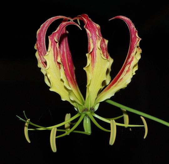 Climbing Plants Gloriosa Superba In 2020 Climbing Plants Air Purifying House Plants Garden Tags