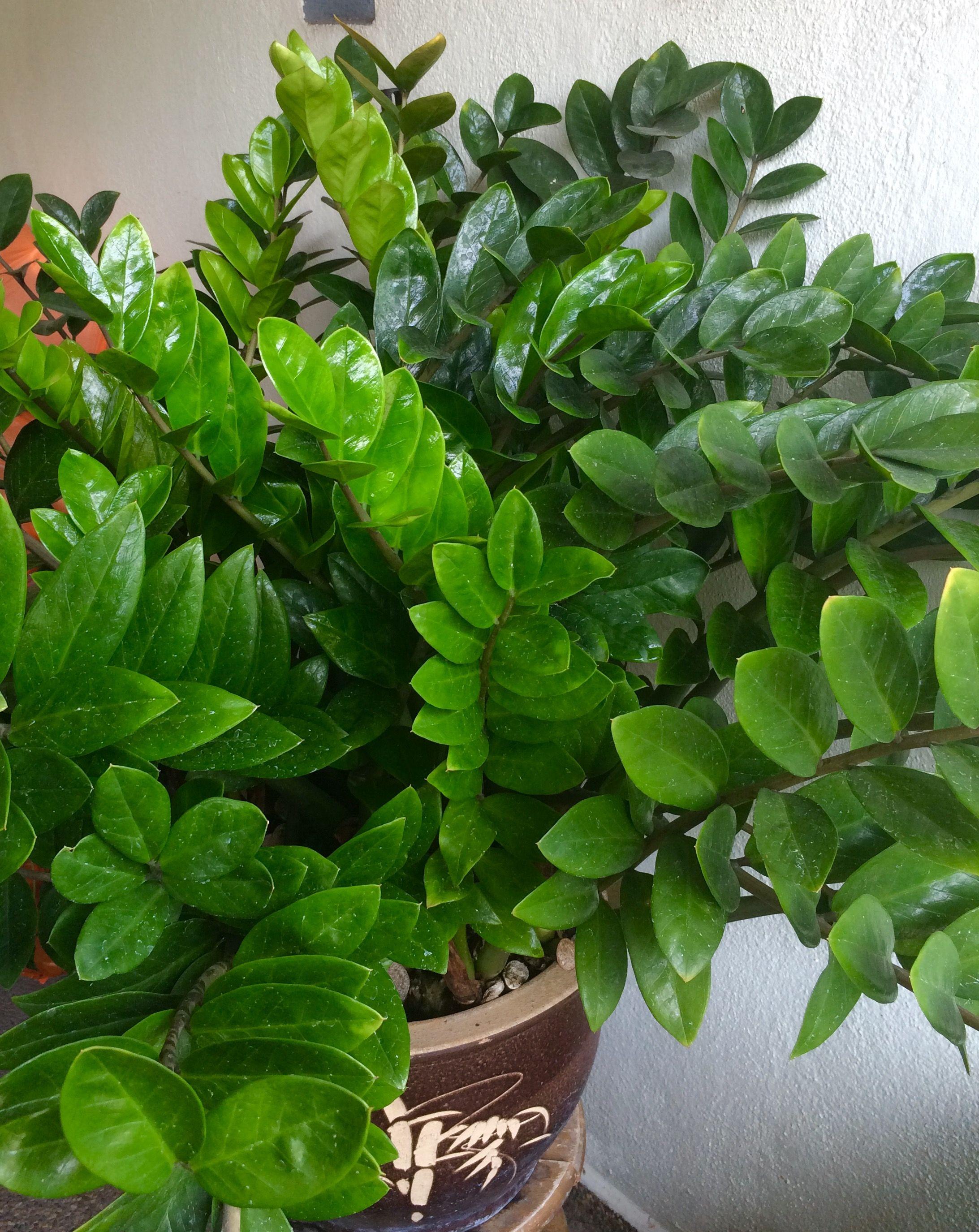 Zamioculcas Zamifolia Or The Zz Plant Say Zee Zee Is Quite An