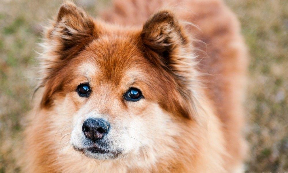 Elkhound Chow Mix Kiesha St Bernard St Bernard Mix Dog Rules