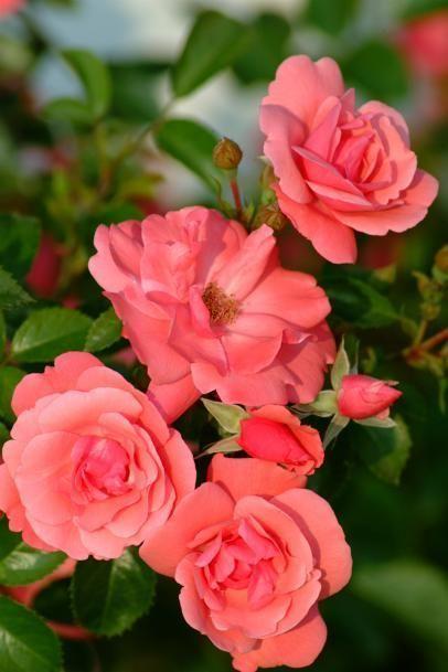 Prizewinning Roses #knockoutrosen 2005_Lady_Elsie_May #knockoutrosen Prizewinning Roses #knockoutrosen 2005_Lady_Elsie_May #knockoutrosen Prizewinning Roses #knockoutrosen 2005_Lady_Elsie_May #knockoutrosen Prizewinning Roses #knockoutrosen 2005_Lady_Elsie_May #knockoutrosen