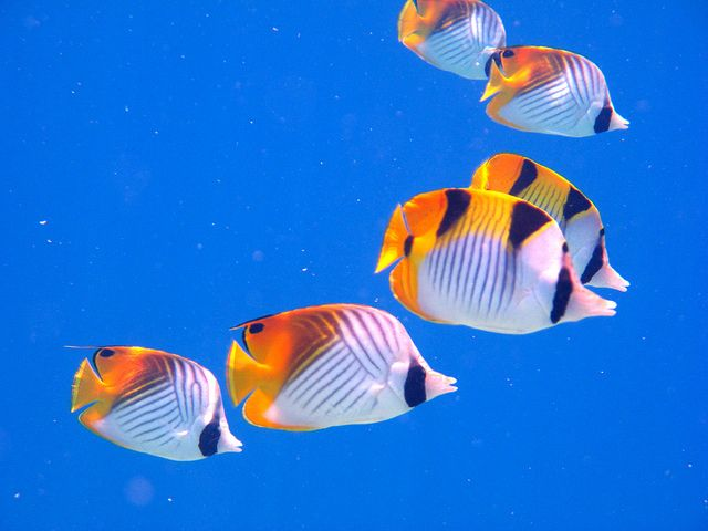 Threadfin Butterflyfish Colorful Fish Fish Marine Fish