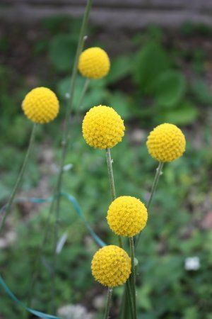 Golden Drumstick Billy Balls Craspedia Globosa 25 Seeds Australian Native Flowers Australian Flowers Flowers
