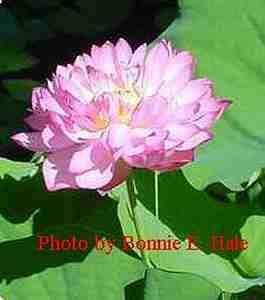 Momo Botan Lotus Tuber | Bonnie's Plants | Aquatic Plants | Home Pond Plants  $27