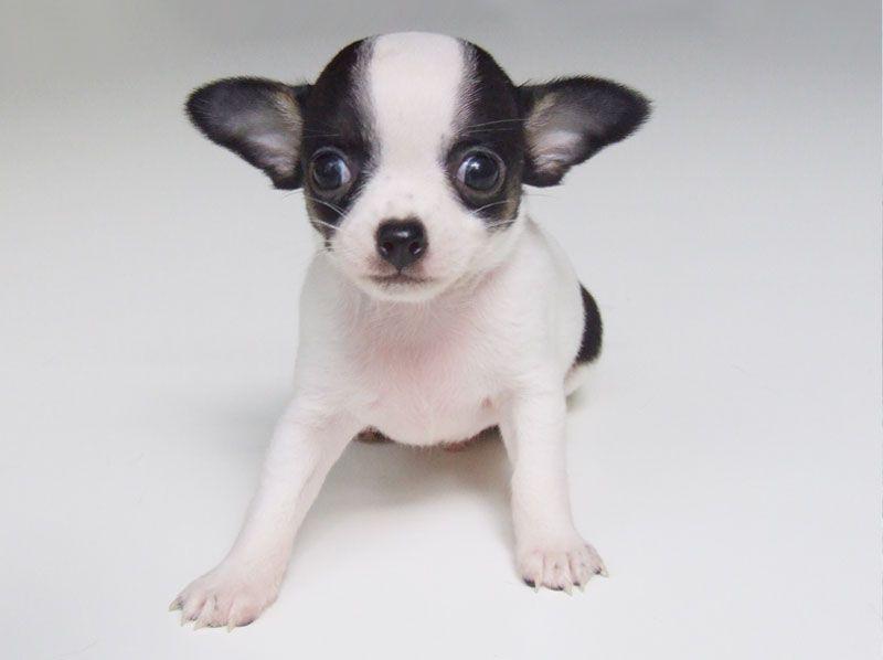 Alabama Fizz 5 Weeks Old 1 Lb 2 1 2 Ozs Chiweenie Puppies
