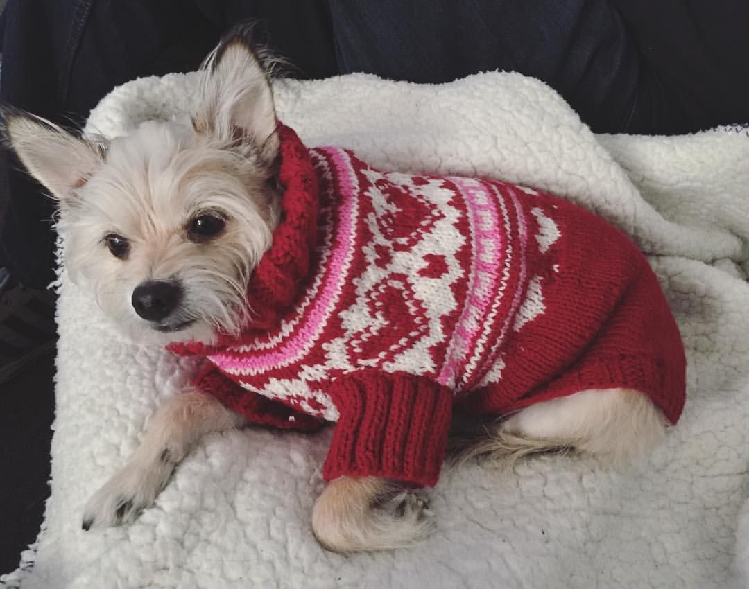Crochet dog sweater for chihuahua/cairn terrier made x. See this ...