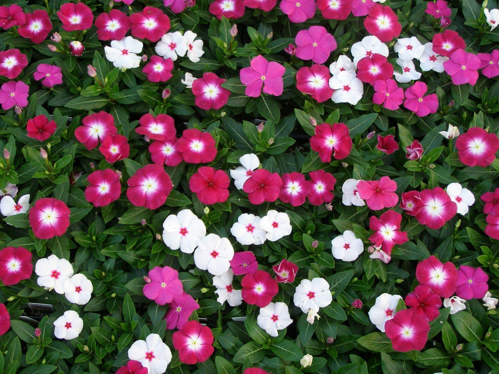 Pacifica Merlot Mix Vinca Periwinkle Flowers Annual Flowers Flower Seeds