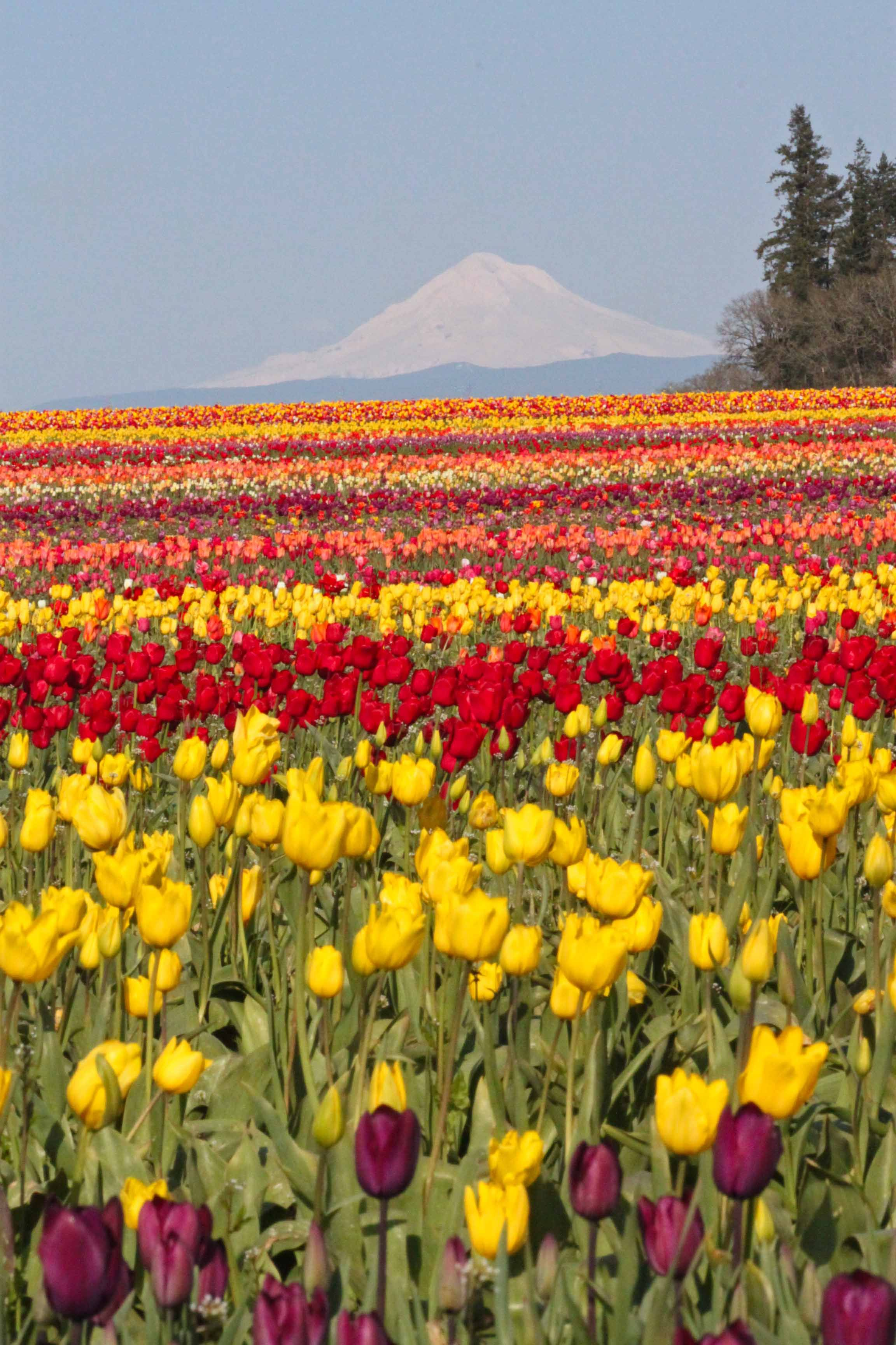 Wooden Shoe Tulip Festival Woodburn Or Woodenshoe Com I Go To Woodburn Every Six Months Incredible Places Scenic Routes Tulip Festival