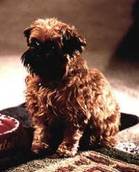 Brussels Griffon As Good As It Gets : brussels, griffon, Google, Search, Brussels, Griffon, Puppies,, Griffon,, Puppies