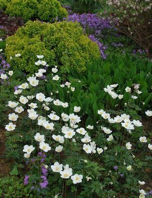 Anemone Sylvestris Snowdrop Anemone From North Creek Nurseries Landscaping With Rocks White Flower Farm Moon Garden