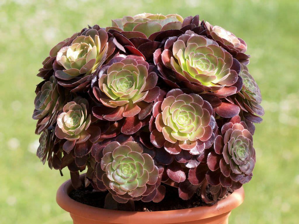 Aeonium Arboreum Var Atropurpureum Plants Flowers