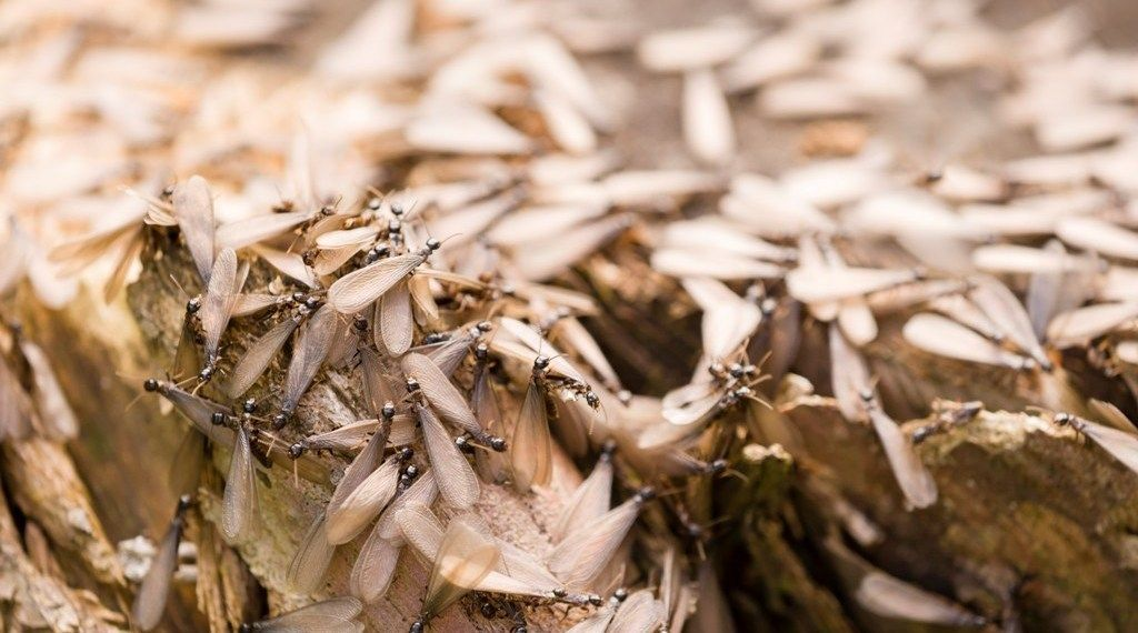 How to Get Rid of Termites Naturally DIY Termites Control