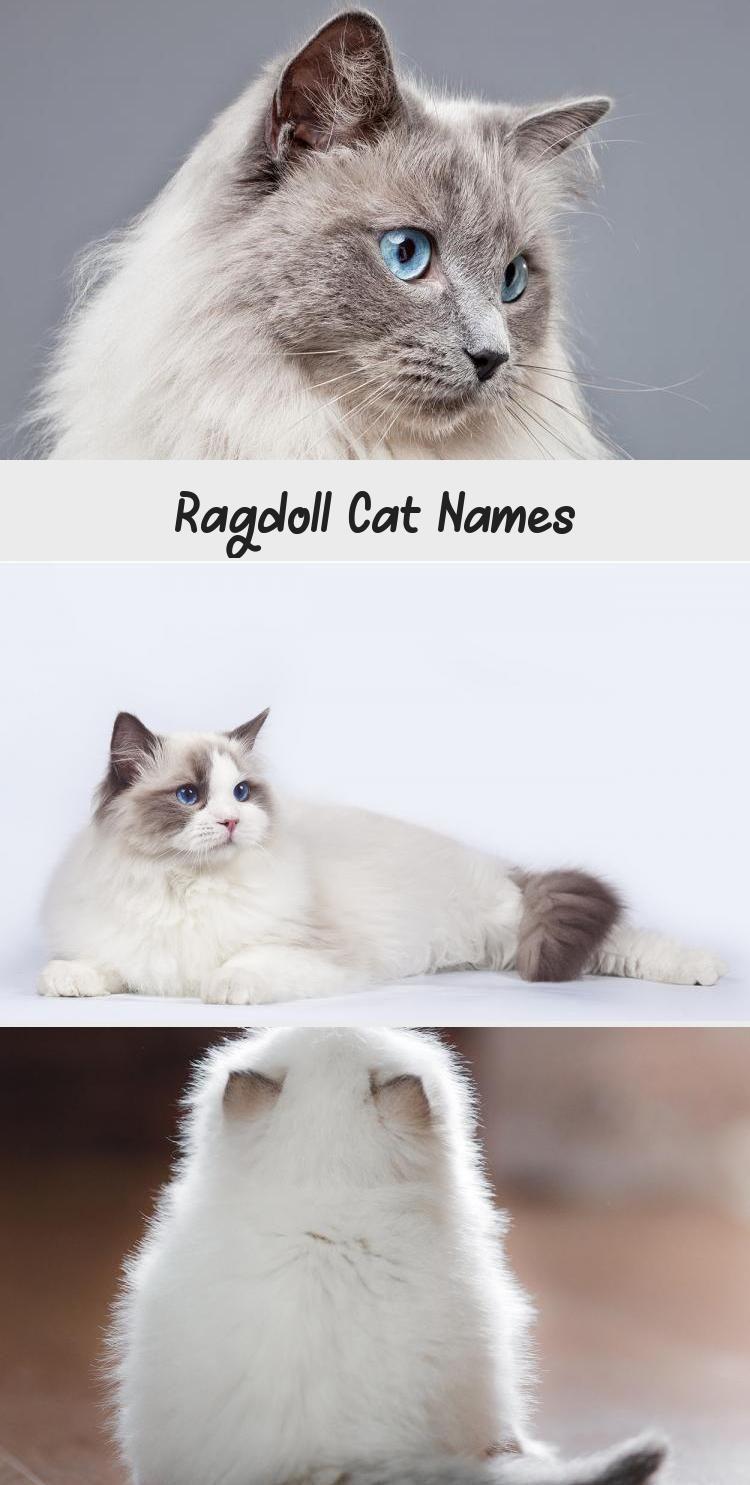 Ragdoll Cat Names Mit Bildern Katzen Namen Katzennamen Katzen