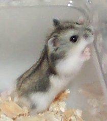 Petsmart Russian Dwarf Hamster Dwarf Hamster Hamster Russian Dwarf Hamster