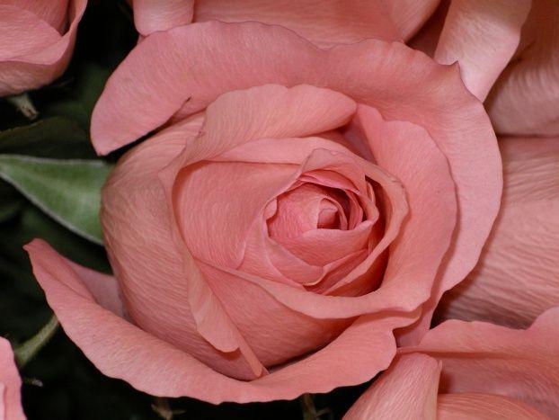 Rosa palo palo rosa flowers pinterest - Color rosa palo ...