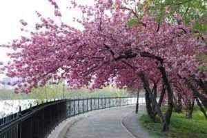 Japanese Garden Japanese Garden Plants Blossom Trees Cherry Blossom Tree