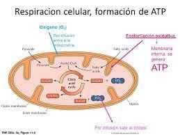 Respiracion Celular Formacion Del Atp Respiracion Celular Ciencias Naturales Bioquimica