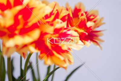 tulip petals in red and yellow - Yellow and red tulip petals