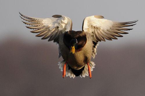 64130a5bec7af Mallard drake with landing gear down   Ryan Askren   Flickr