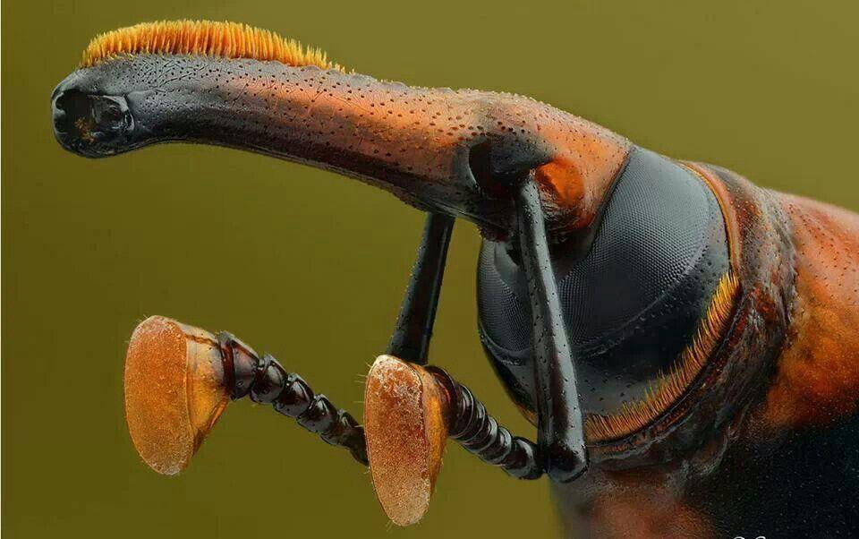 Picudo Rojo Coleóptero Que Ataca A Las Palmeras Coleopteros Insectos Artrópodos