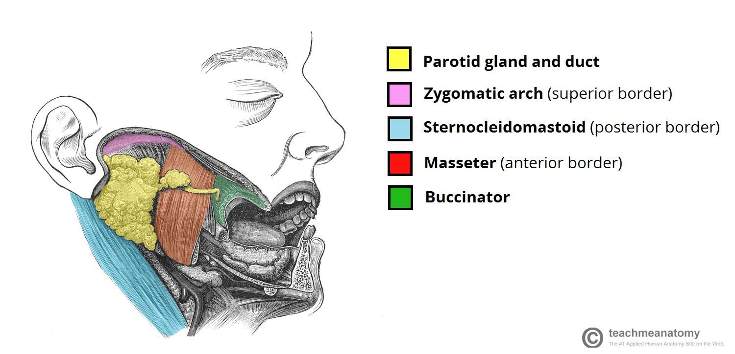 Salivary Glands Guide Salivary Glands Anatomy Parotid