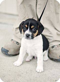 Rookie Adopted Puppy April Portsmouth Ri Beagle Rat Terrier Mix Rat Terriers Beautiful Puppy Rat Terrier Mix