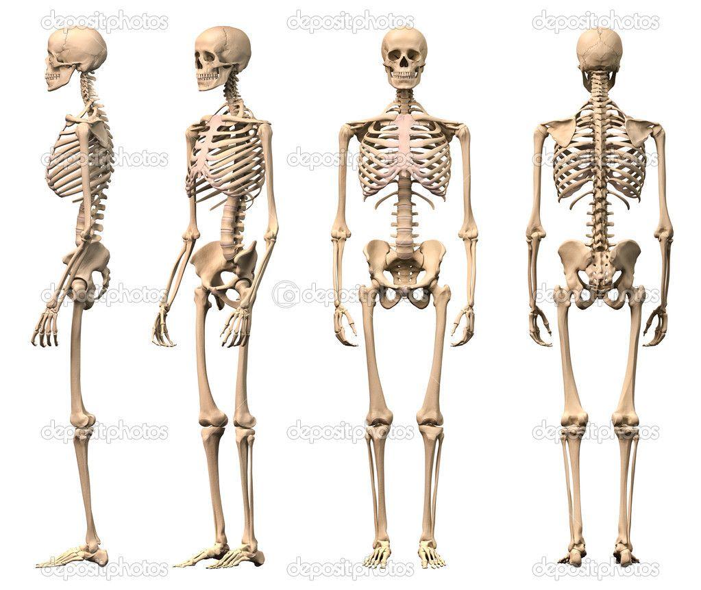 depositphotos_25637409-male-human-skeleton-four-views-front, Skeleton
