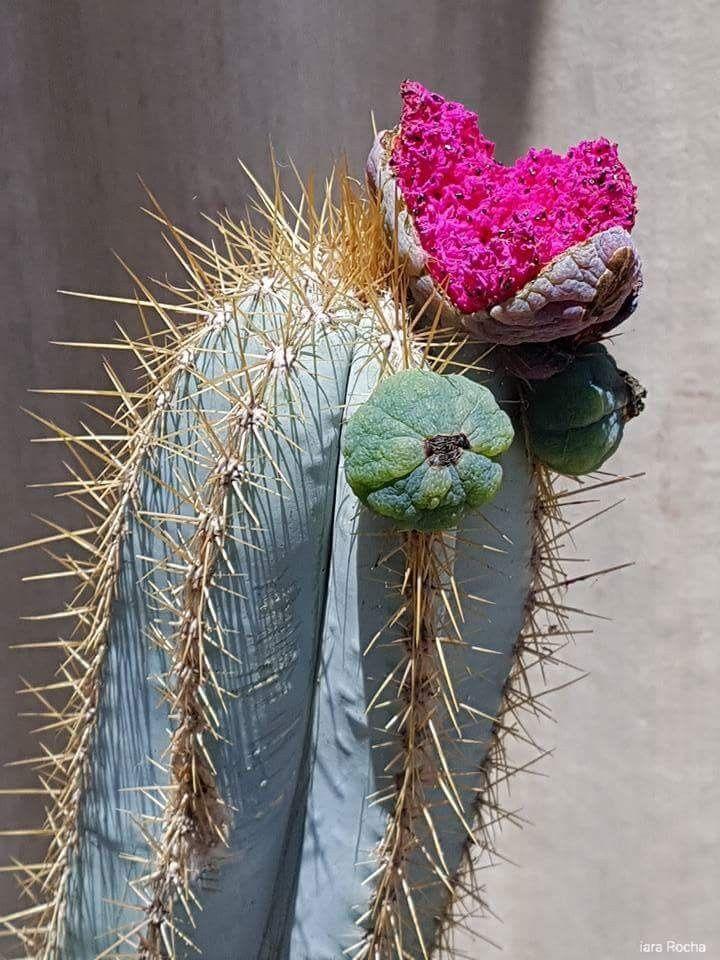 Cereus azureus com frutos                      Foto ___ IARA Rocha
