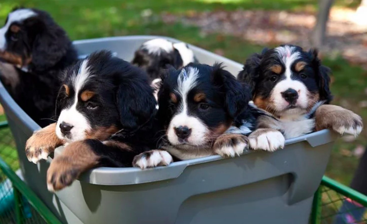 Have You Been Thinking About Adopting A Bernese This Is Your Sign Click Here To Find Out More Bernese Mountain Dog Puppy Bernese Mountain Dog Mountain Dogs