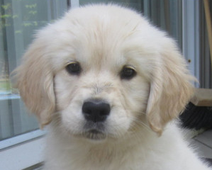 Ontario Golden Retriever Puppies Available English Cream American Retriever Puppy Golden Retriever Puppies And Kitties