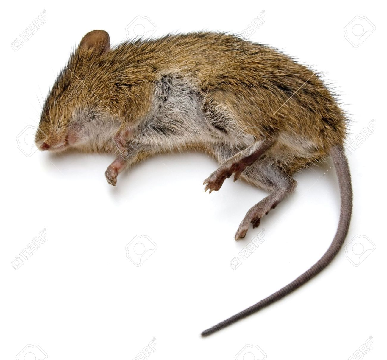 Dead Rat Isolated On A White Royalty Free Images Free Clip Art Stock Photos [ 1208 x 1300 Pixel ]