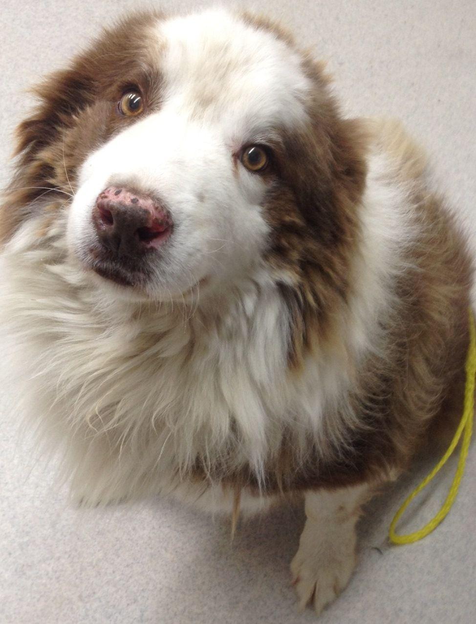 BorderAussie dog for Adoption in Spokane, WA. ADN448049