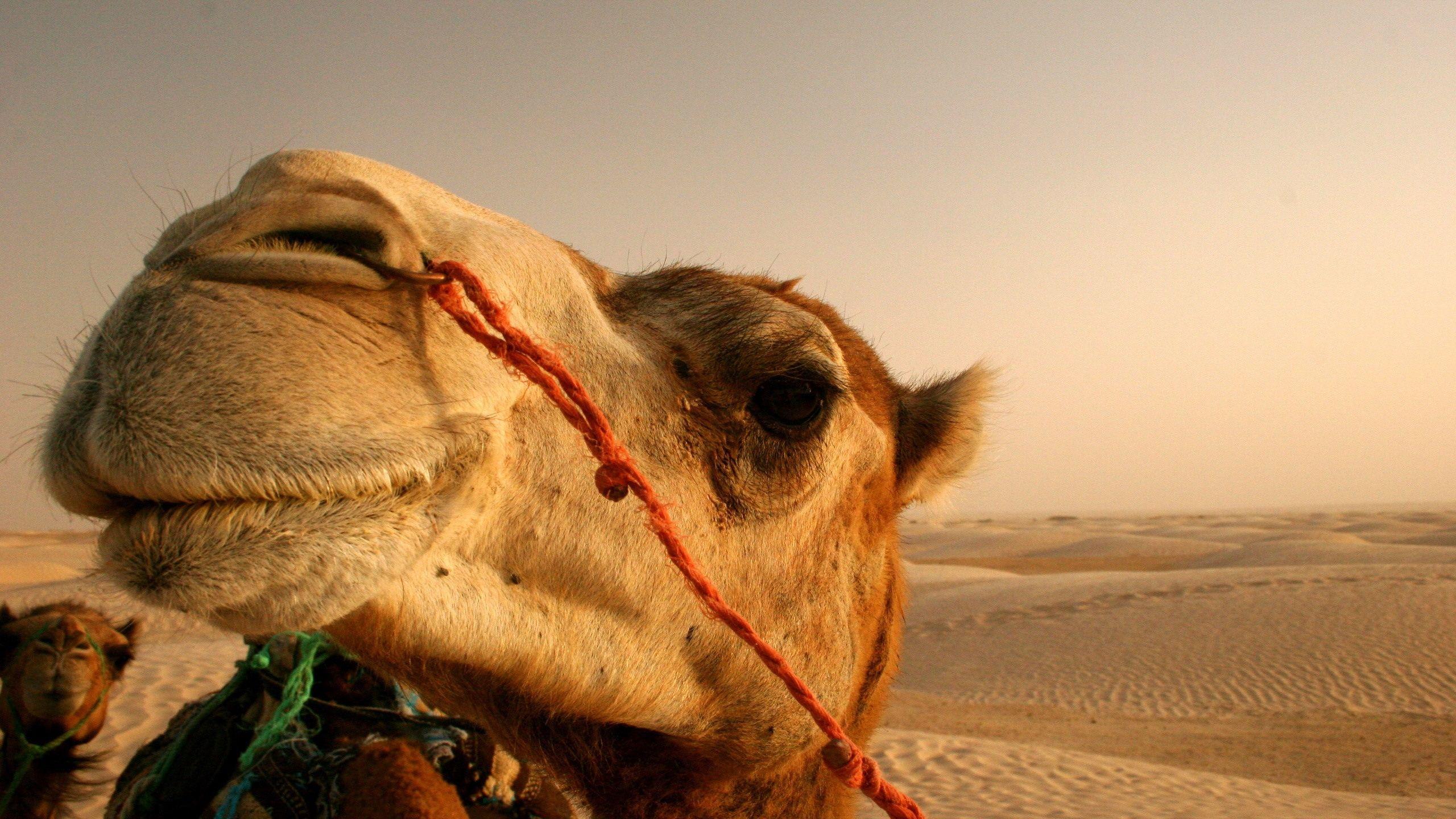 Camel Head Closeup Wallpaper