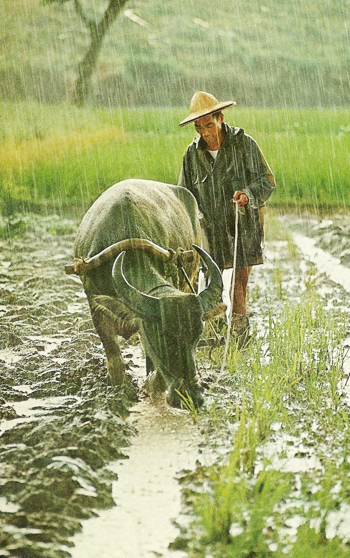A Water Buffalo In Taiwan Draws His Masters Plow Through A Field Soaked By The Monsoons Deluge National Geographic Ja National Geographic Water Buffalo Photo