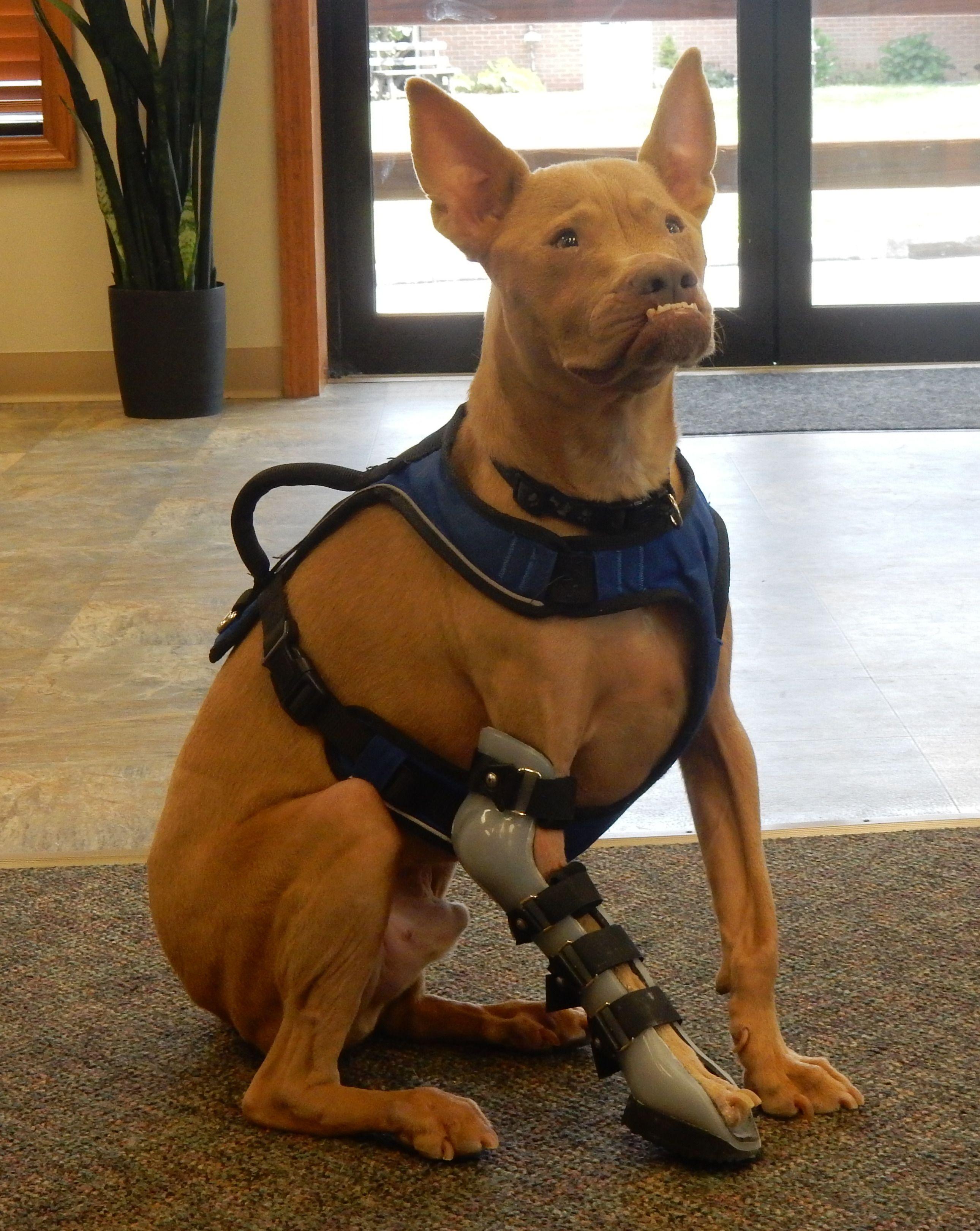pitbull knee brace