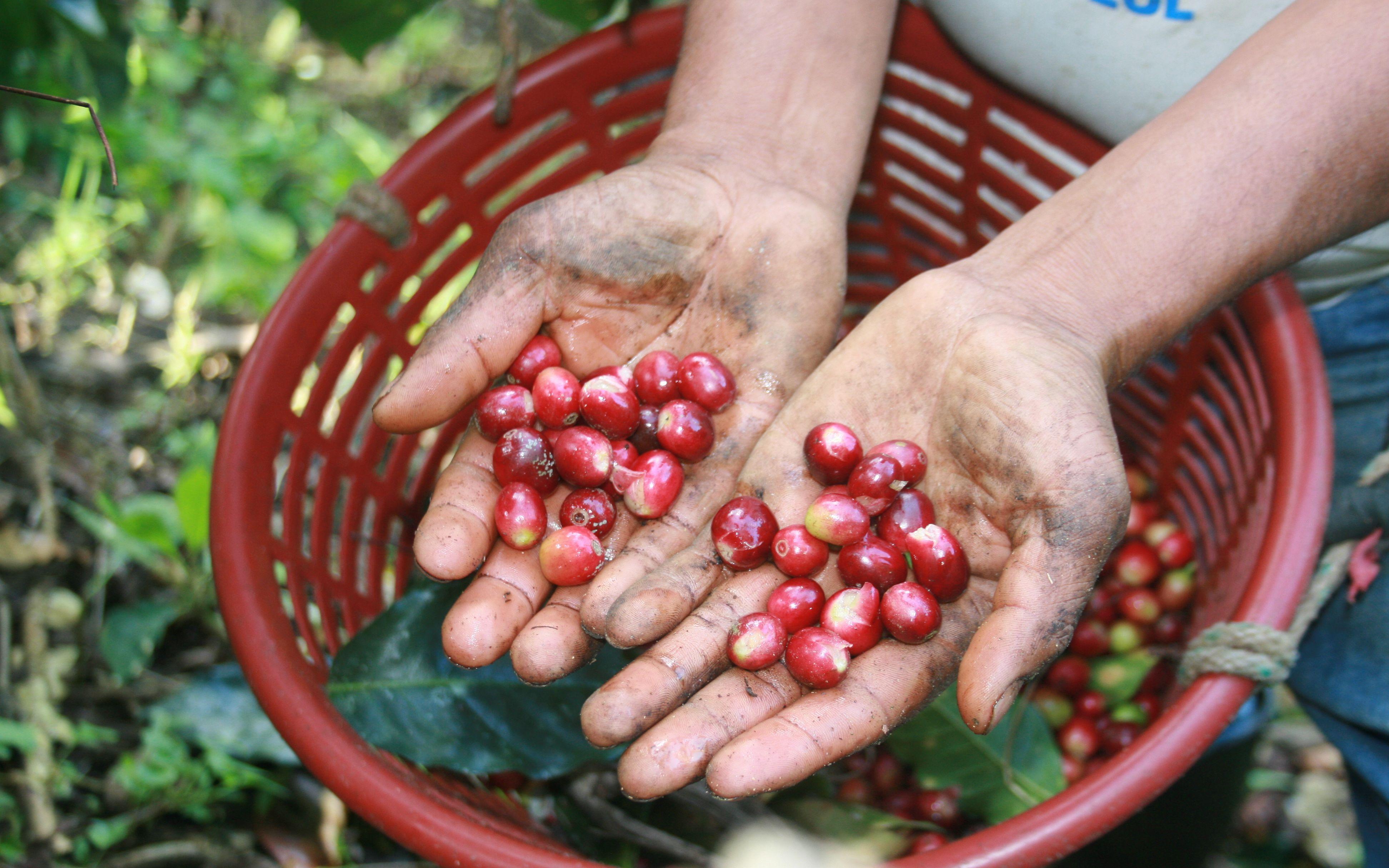 La crisis que enfrenta la cafeticultura está lejos de superarse. http://noticiasdechiapas.com.mx/nota.php?id=82155