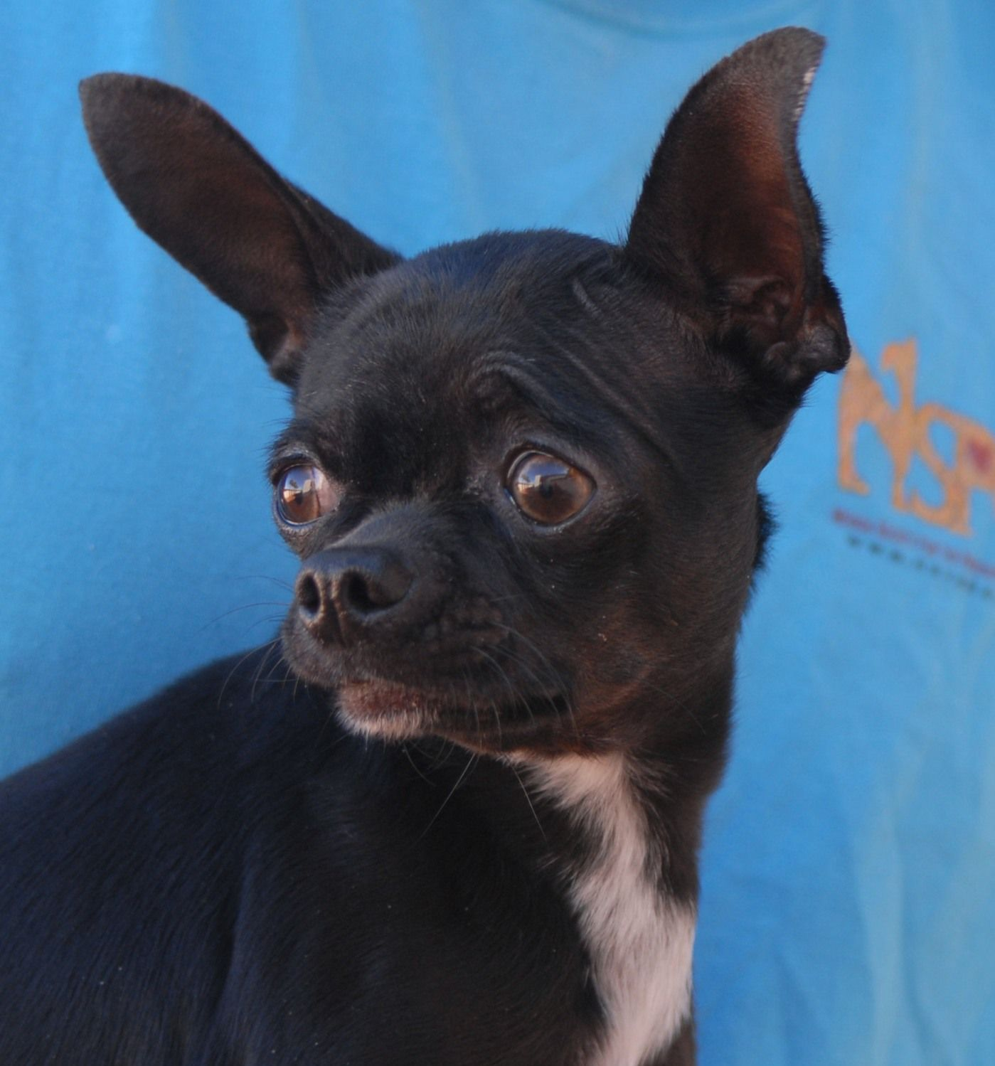 O'Ryan is a 5pound lovebug debuting for adoption today at