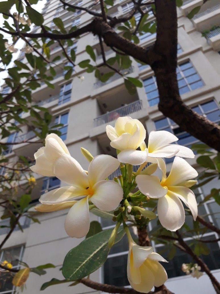 Kamboja Bunga Tanaman Kamboja