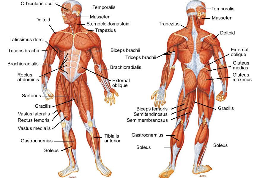 Muscle Diagram Human Body System | Muscle and Fitness | Pinterest