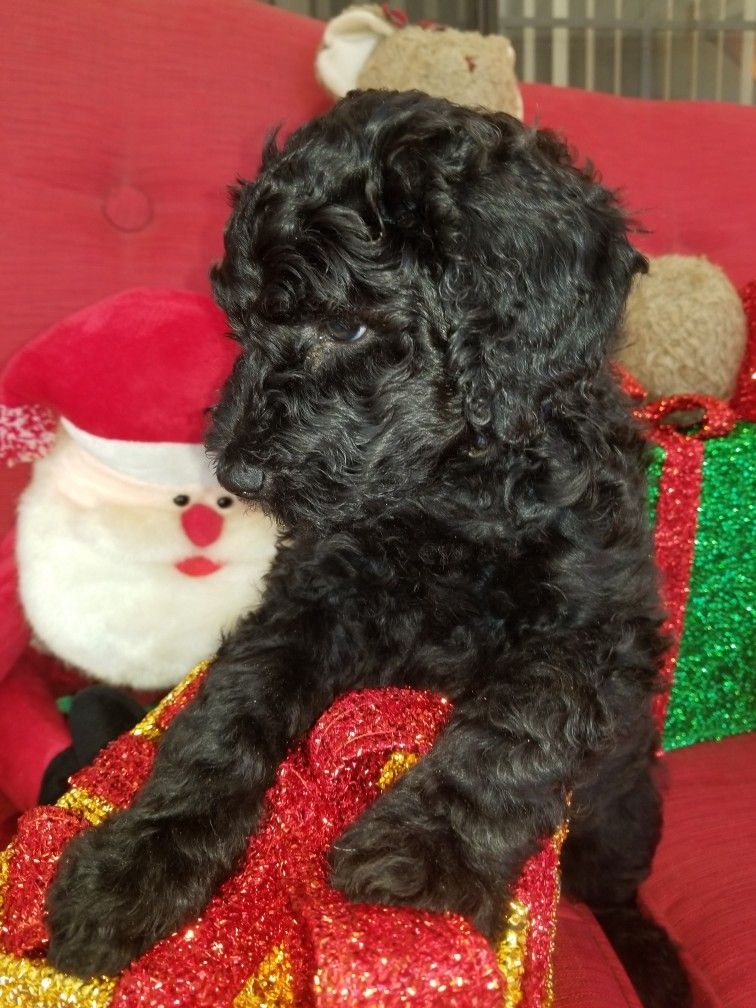 4 Week Old Standard Poodle Puppy Poodle Puppy Standard