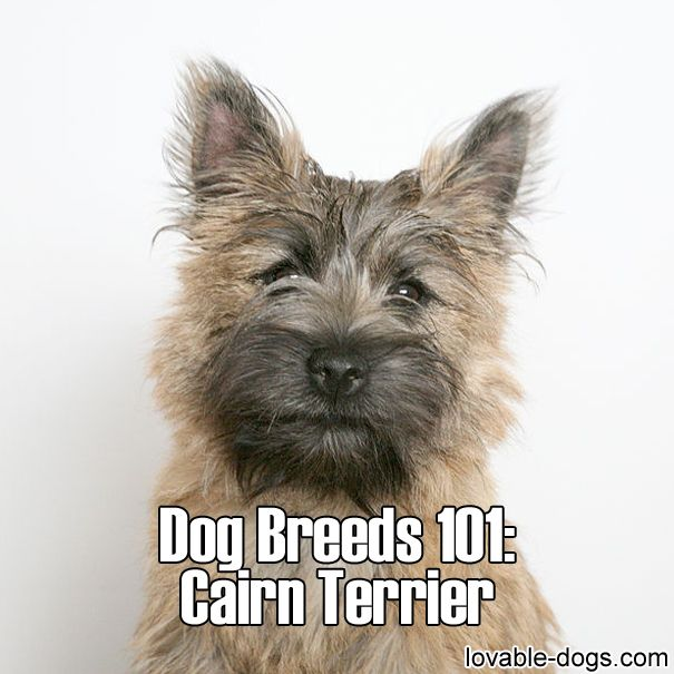 Pin By Charles Reed On Our Best Friends Cairn Terrier