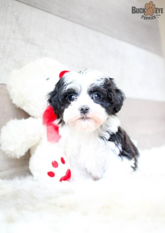 Rosie Havanese Puppy for Sale in Canton, OH Buckeye