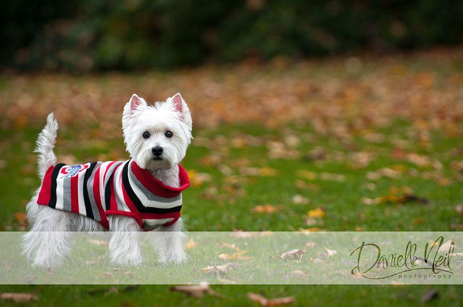 Dog Photographer Ohio Westie Dogs Dog Photograph Pet Photographer