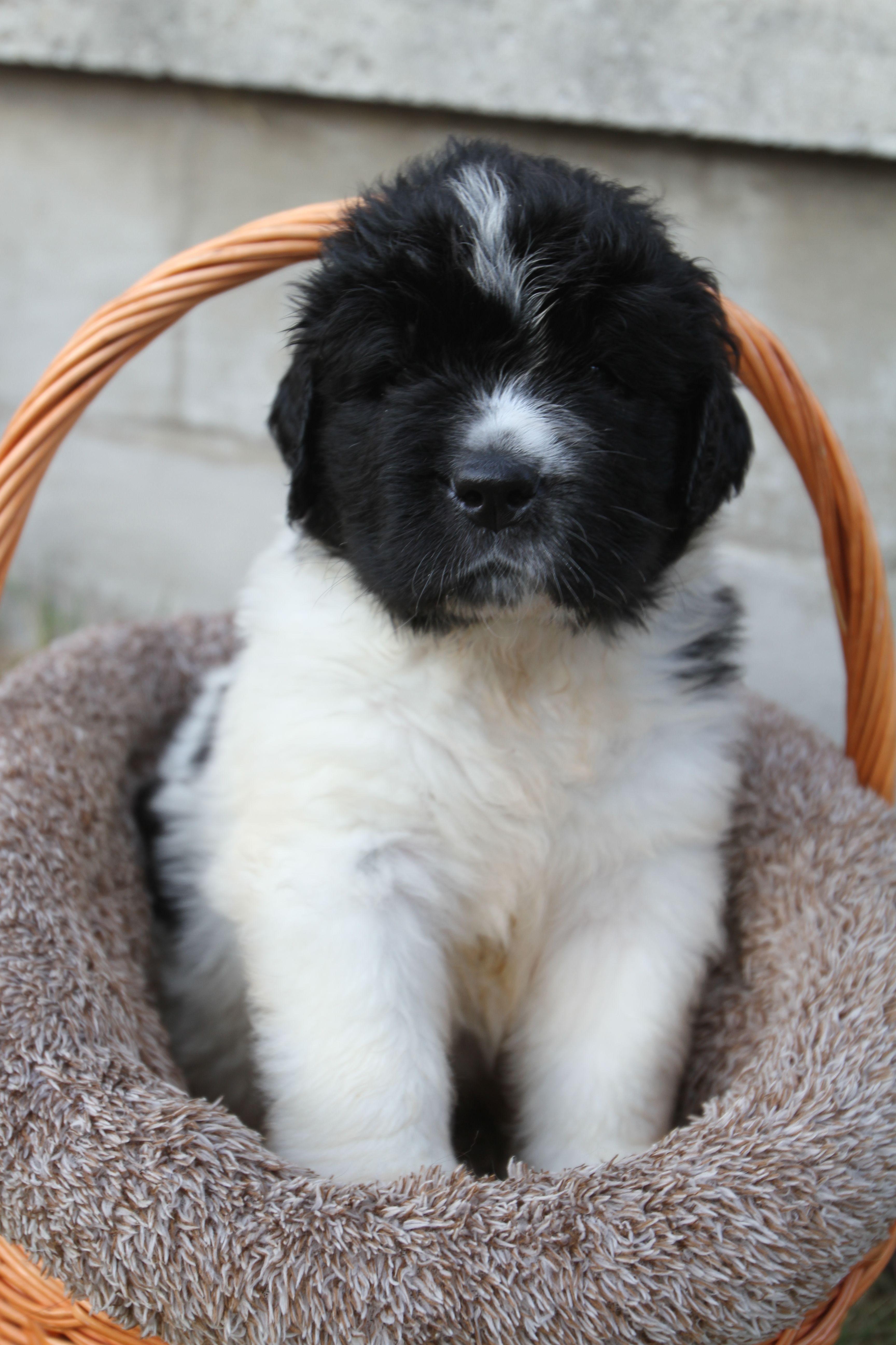 Blaze Newpuppy Newfoundland Puppies Puppies For Sale