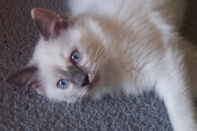 Ragdoll Kitten Available Western Victoria Cats Kittens For Sale Australia Cat World Cat Forums Cat Message Boards World Cat Cat Enclosure Cats