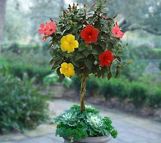 QVC Cottage Farms 3 in 1 Braided Tropical Hibiscus Tree In the