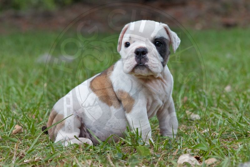 Pepper This Fawn And White English Bulldog Puppy Is Available To